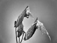milkweedpods1