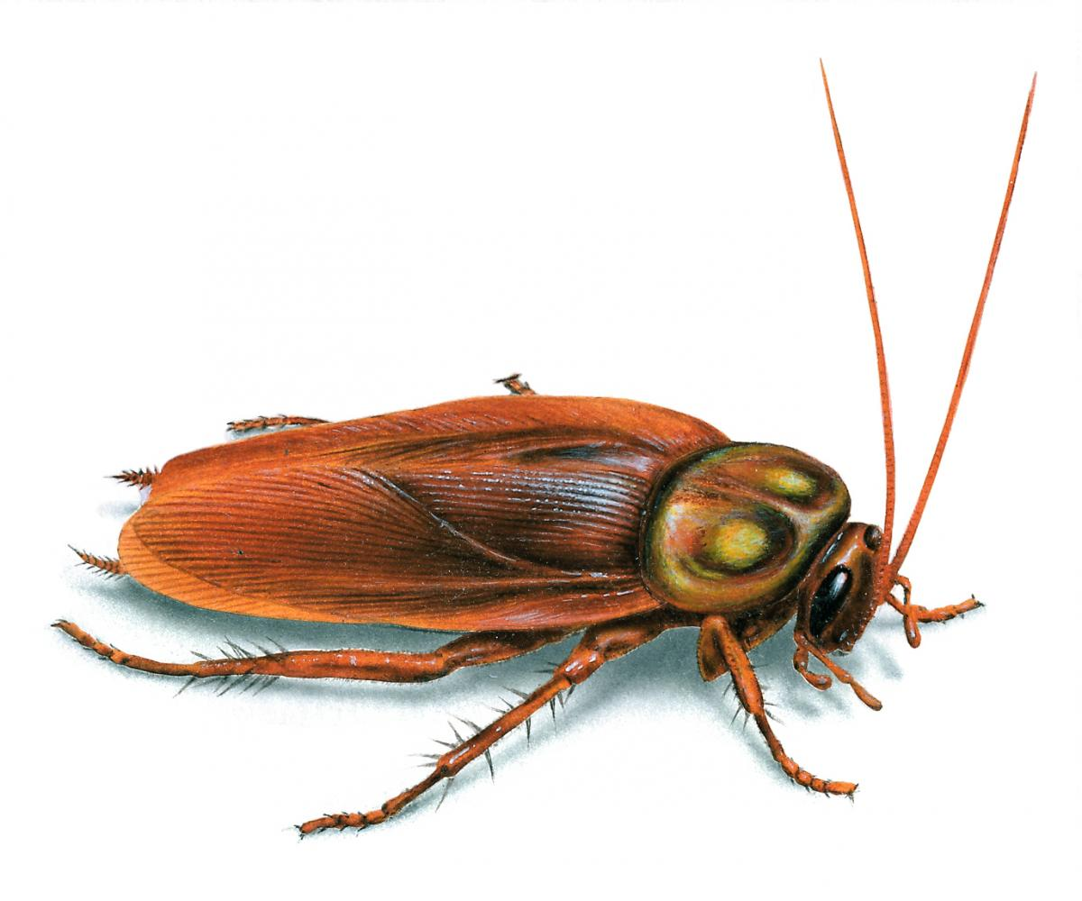 The common cockroach, the Pacific Beetle Cockroach, have a nutritious milk.