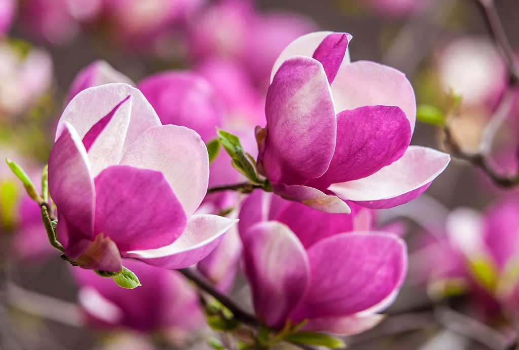 Pink Magnolia Flower   The Lightorialist