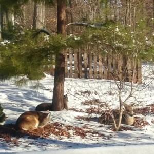 Cassandra the white pine