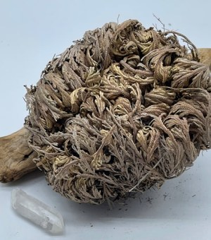 Rose of Jericho Sacred Plant Kit