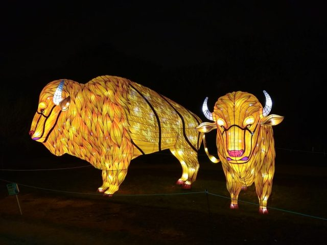 chinese lantern festival cary nc american bison