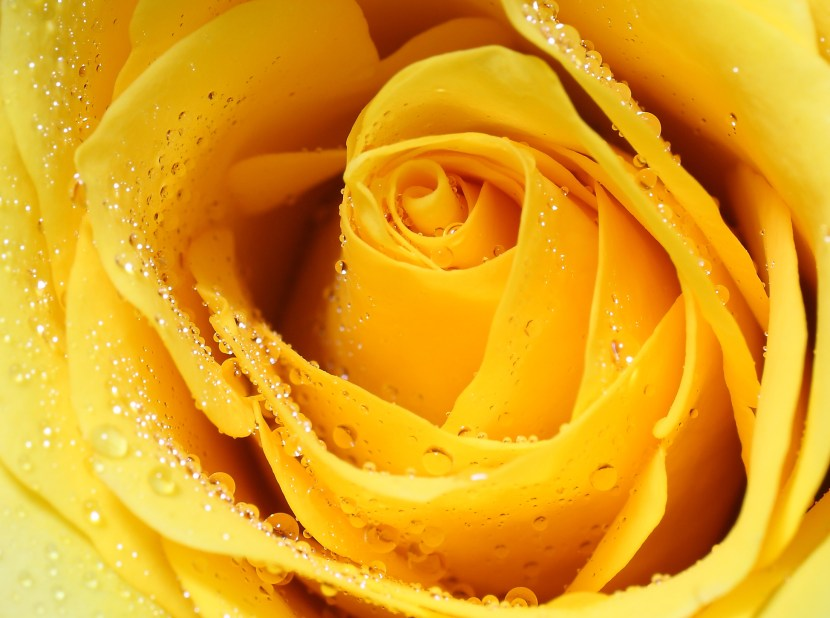 A fresh yellow rose