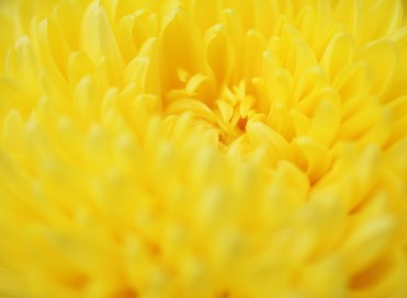 A shy chrysanthemum