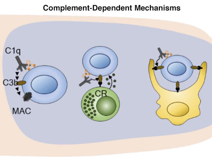 Modified antibody clarifies tumor-killing mechanisms