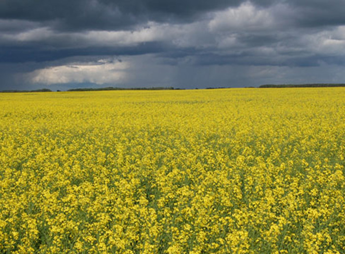 Scientists work toward new canola varieties