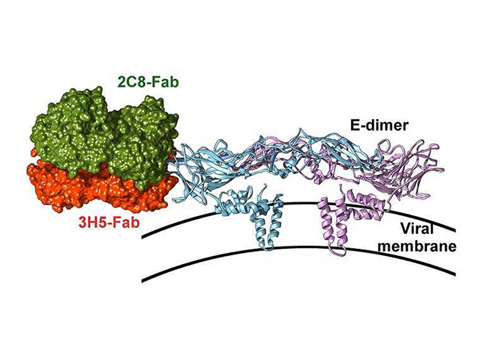 Insights into an antibody directed against dengue virus