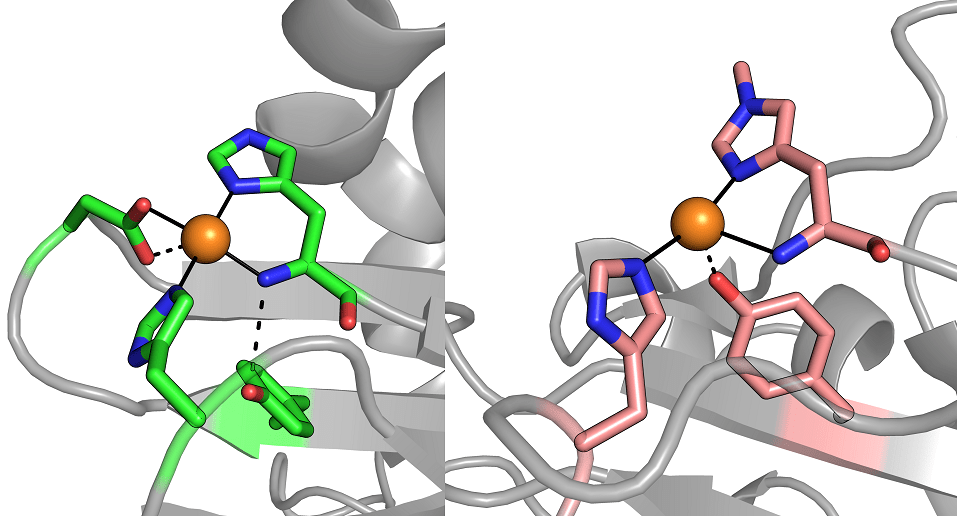 Discovering a whole new family of copper-binding proteins