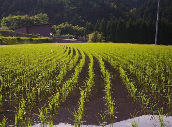 Cadmium contamination in rice crops