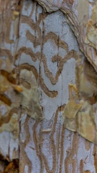 Paperbark after insect treatment, Nerima Gardens