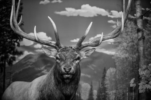 An elk sits on display in the Rocky Mountain Elk Foundation visitor Center. a variety of exhibits in the Visitor Center tell the story of elk and their habitat.