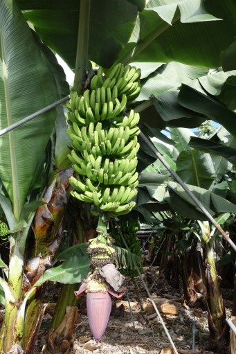 7-Bananas continuing to develop