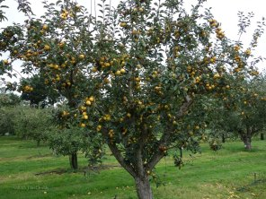 1-Pitmaston Pineapple tree