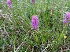 3-Early Marsh Orchid