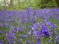 Hatchlands bluebells_2