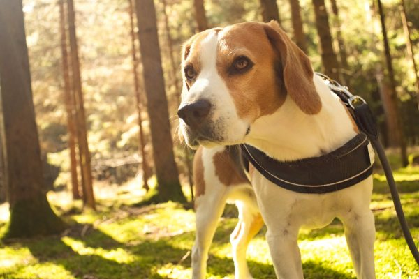 The beagle dog in sunny forest