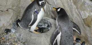 pinguini acquario di Genova