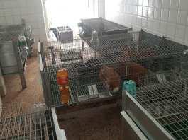 coniglie fagiani in casa