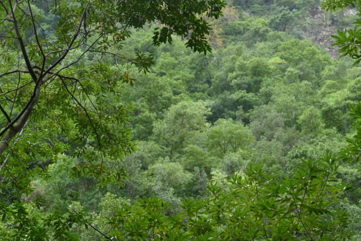 Vihreää paikassa Los Tilos, La Palma.