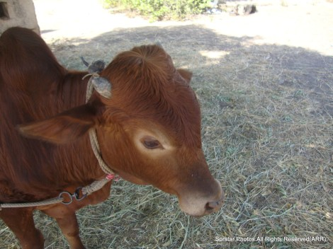 Cattle @ Al Breik