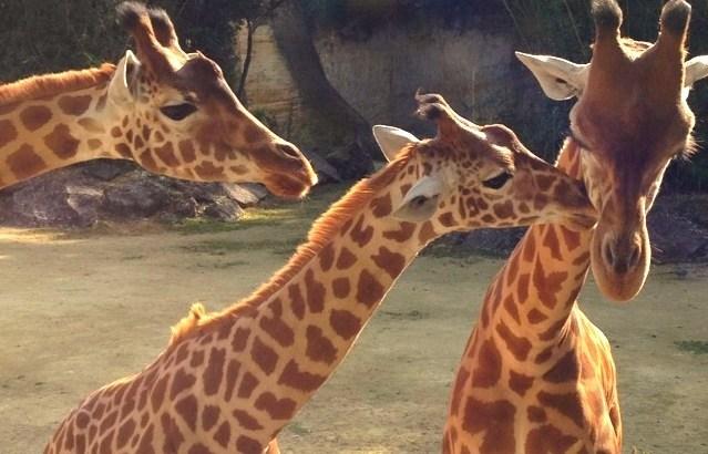 girafes-doue-la-fontaine