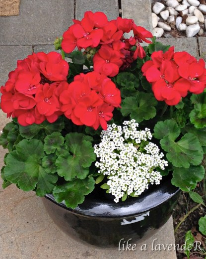 Geraniums feel welcoming at the entrance of my house