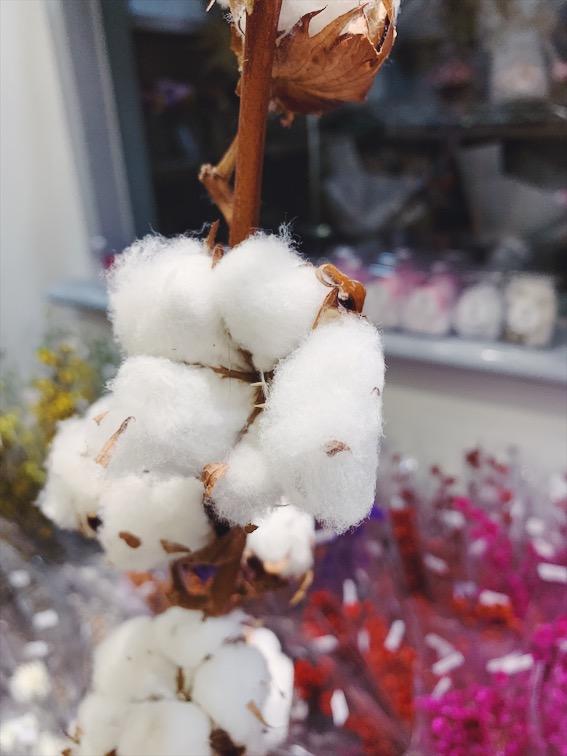 棉花花語分享,棉花哪裡買推薦,棉花的花語是什麼