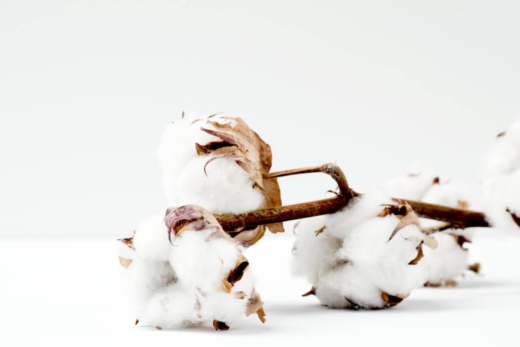 棉花花語棉花花語是什麼棉花的花語