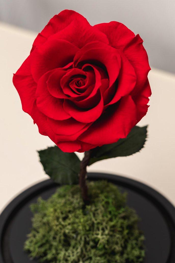 紅色永生玫瑰花特寫照片-永生玫瑰花玻璃罩