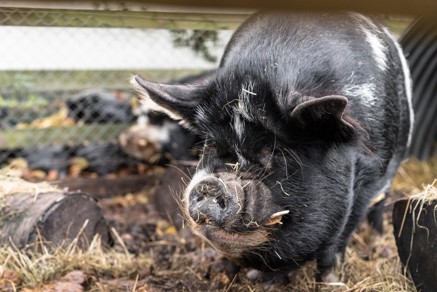 giant pig with black fur with white spits big snout inside spitalfields city farm