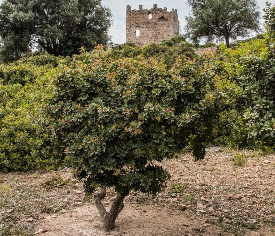 chios mastic tree in front of an old castle in ruins