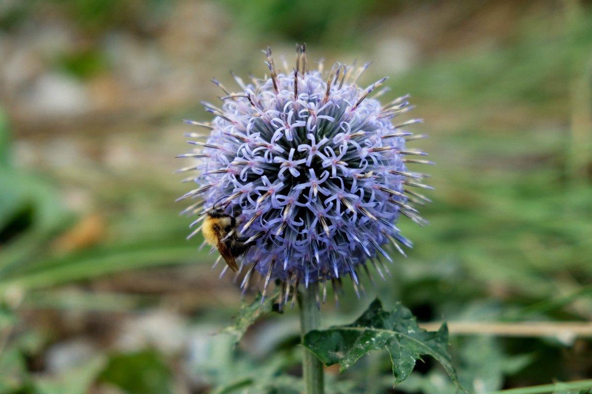 Daniel Bridge Photography thistle bee