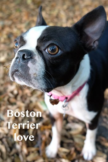 I love a walk with the dogs Boston terrier
