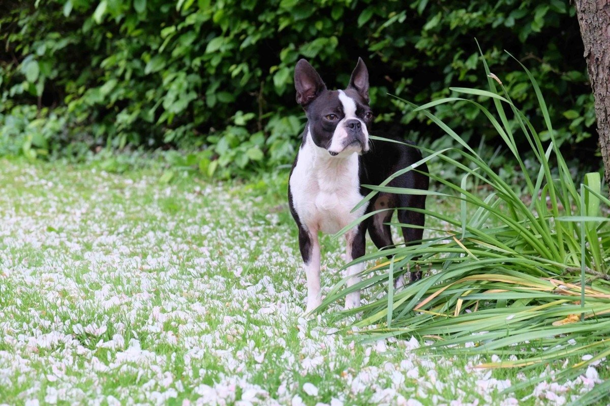 Boston terrier Hi