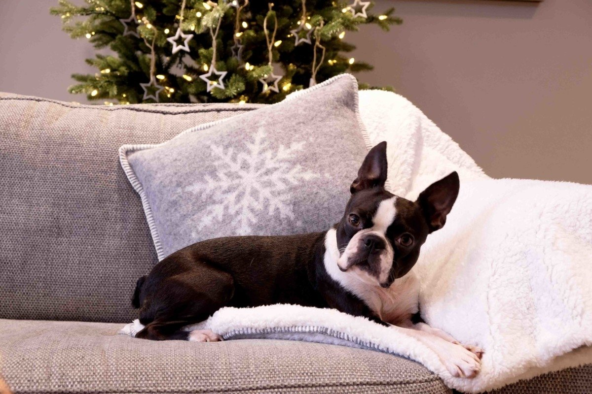 Cox and Cox contemporary Christmas dceorating Boston terrier on blanket