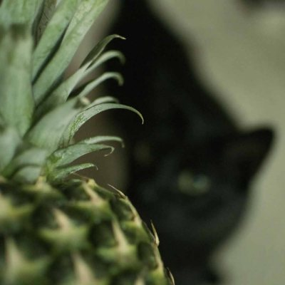 How to Grow Pineapple Plant