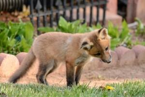 curious lawn fox