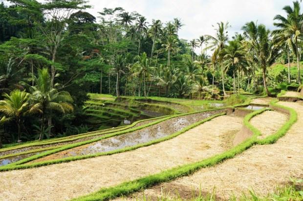 Coisas para fazer em Ubud - Tegalalang e os campos de arroz