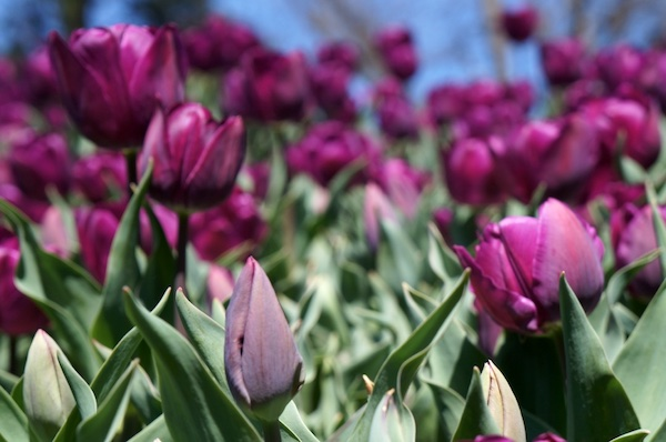 Lindas tulipas no Festival de Bowral
