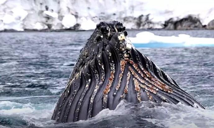 whale bubble-net