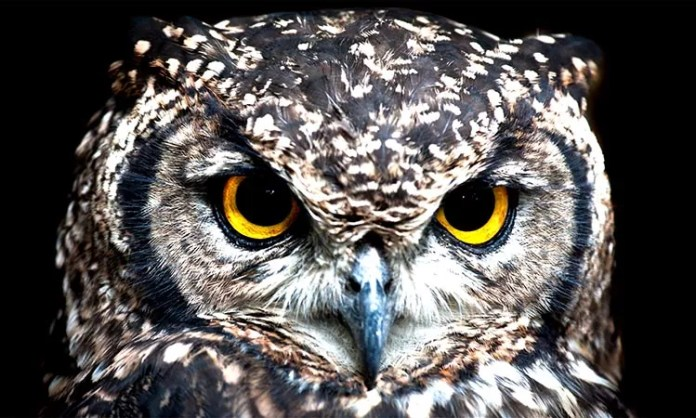 The face of the owl
