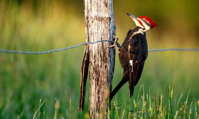 Woodpecker in Indiana