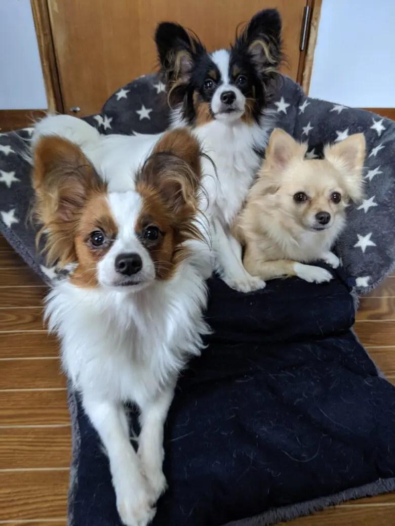 ライラック犬舎⭐看板創作中⭐チワワ&パピヨンブリーダー