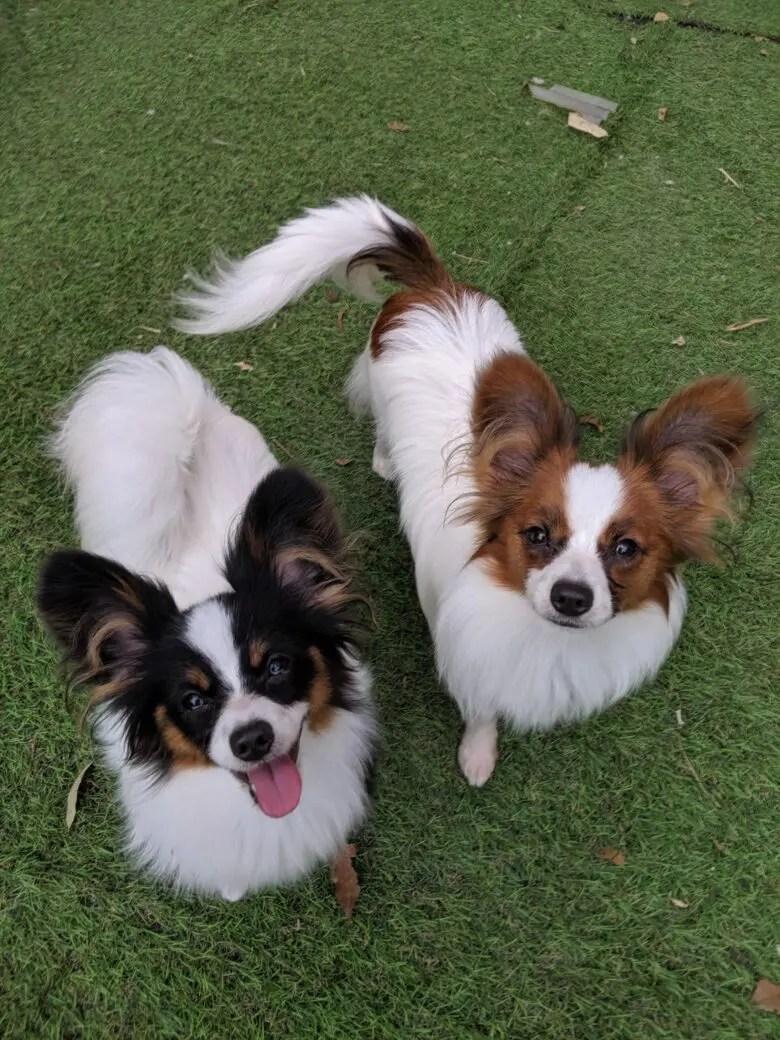 愉快な仲間たち⭐ライラック犬舎⭐パピヨン&ロングコートチワワ⭐子犬⭐成犬