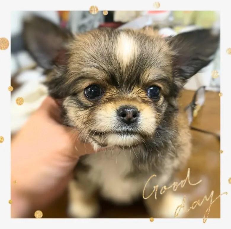 お友達のところで可愛い子犬ちゃん生まれております🍀ロングコートチワワ オーナー様募集中 パパ飼育サポート募集 千葉県