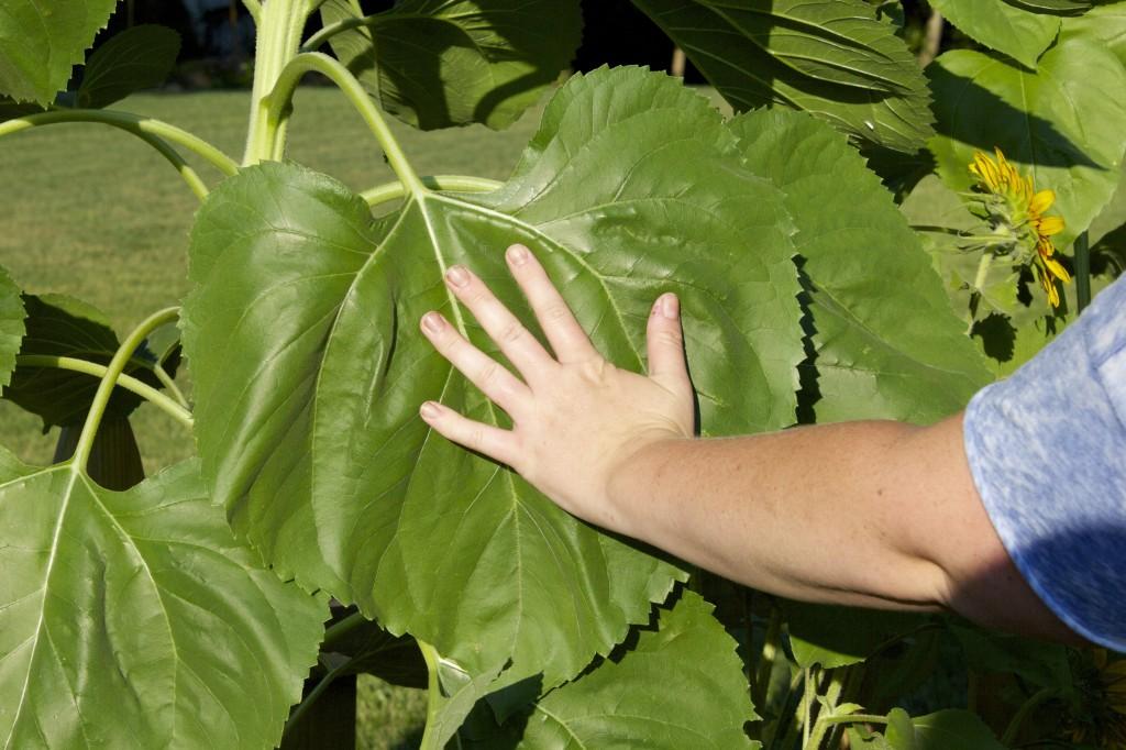 Sunflower Leaf