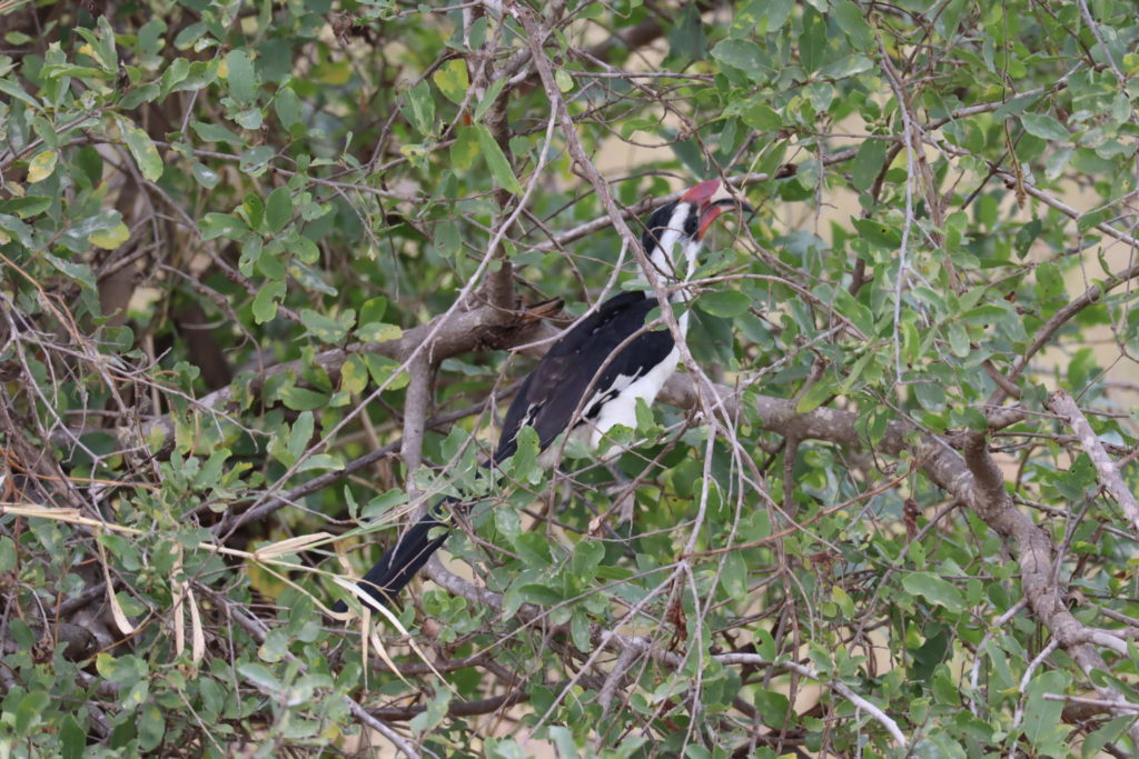 calao rouge tarangire tanzanie safari