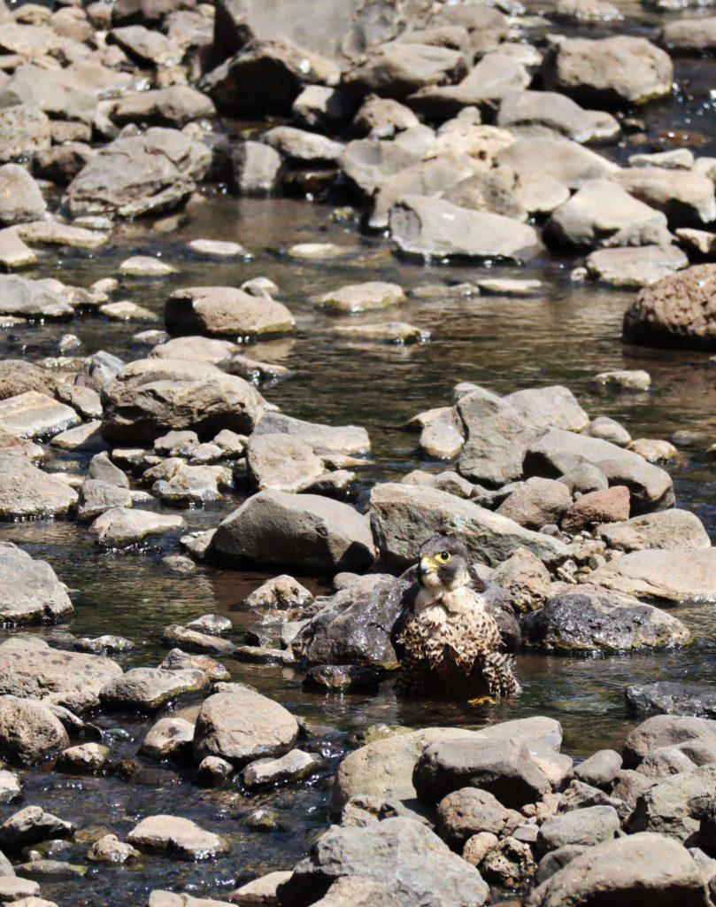 faucon lac manyara tanzanie safari