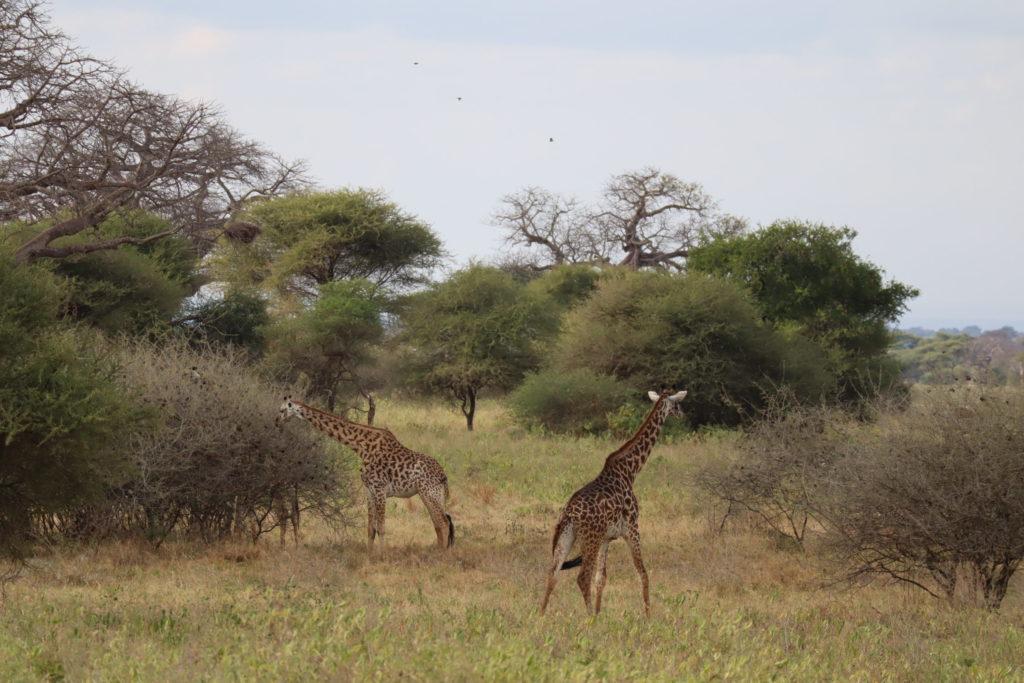 girafes au trangire en tanzanie
