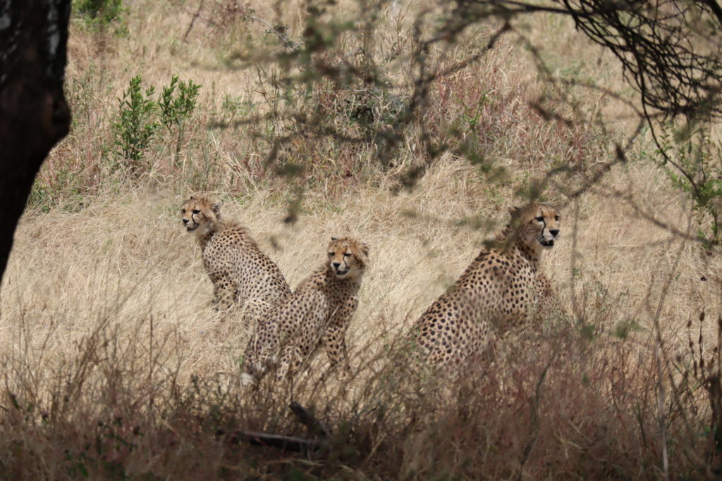 guepard tanzanie safari tarangire